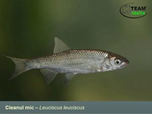 Cleanul-mic-Leuciscus-leuciscus-Peste-curgatoare-stationare