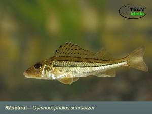 Rasparul-Gymnocephalus-schraetzer-Peste-curgatoare-stationare