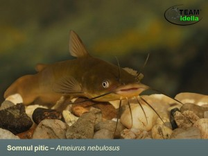 Somnul-pitic-Ameiurus-nebulosus-Peste-curgatoare-stationare