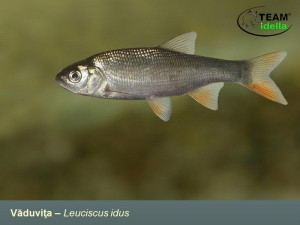 Vaduvita-Leuciscus-idus-Peste-curgatoare-stationare