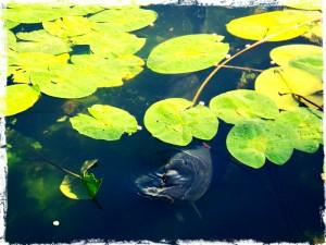 pescuitul-crapului-intre-ape-zig-rig-bugs