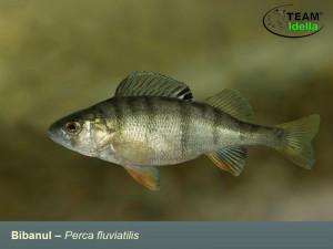 Bibanul-Perca-fluviatilis-Peste-curgatoare-stationare