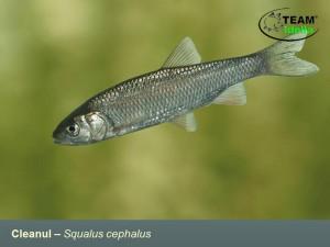 Cleanul-Squalus-cephalus-Peste-curgatoare-stationare